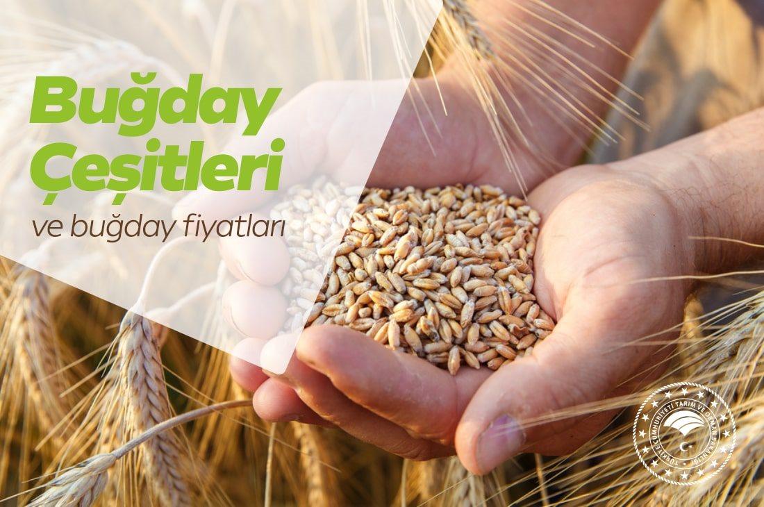 Buğday Çeşitleri ve Buğday Fiyatları