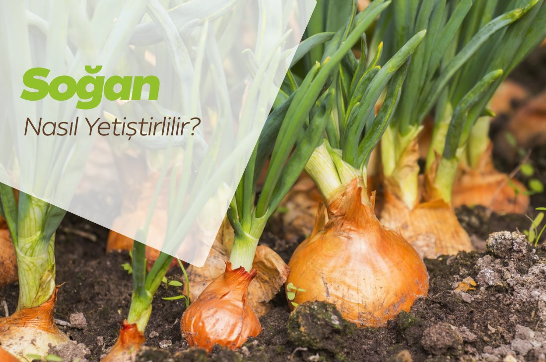Soğan Nasıl Yetiştirilir? Soğan Fiyatları, Satılık Soğan